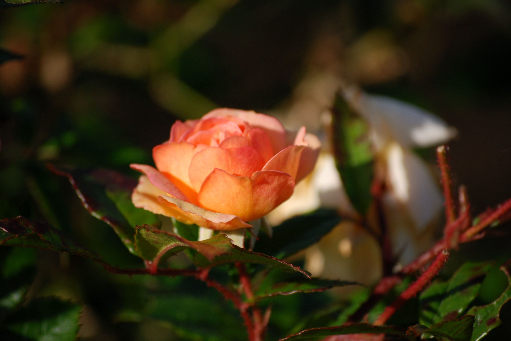 2007-09-23:027 Rose by Magnus Norden